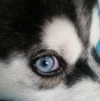 Girlw5huskies